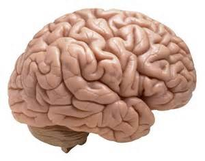 Brain--side view
